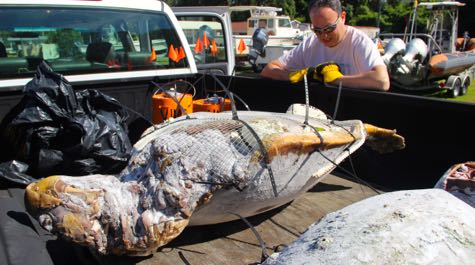 Researchers release 'Frankenturtles' into Chesapeake Bay